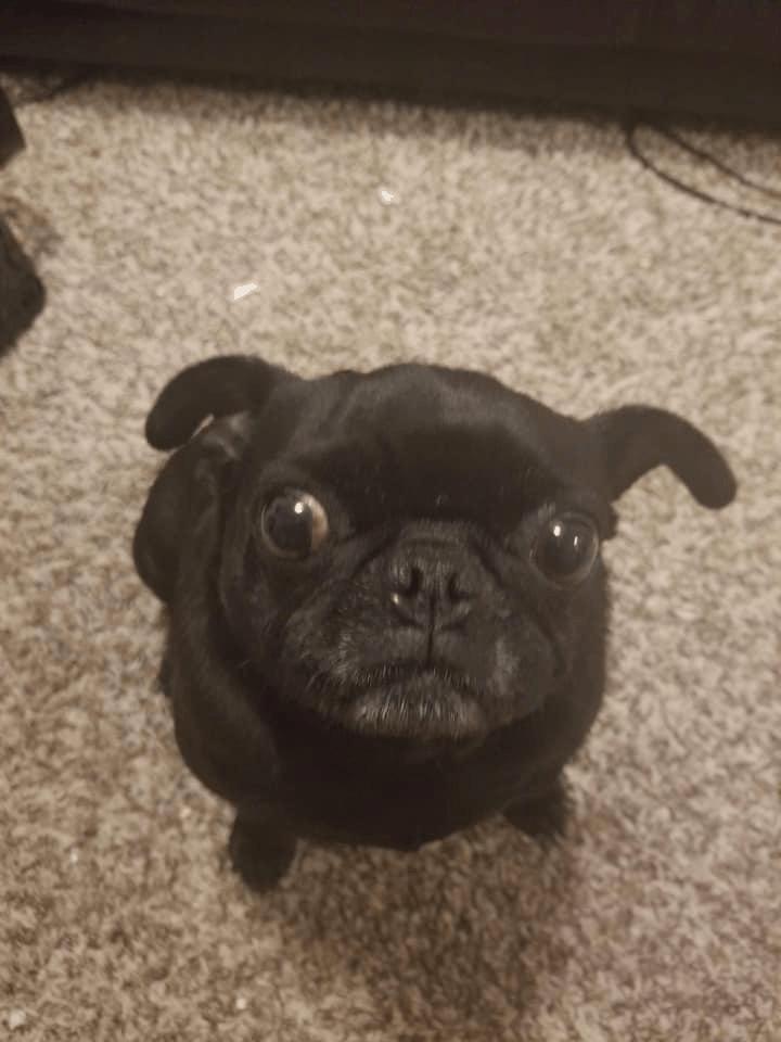 Lady the Pug